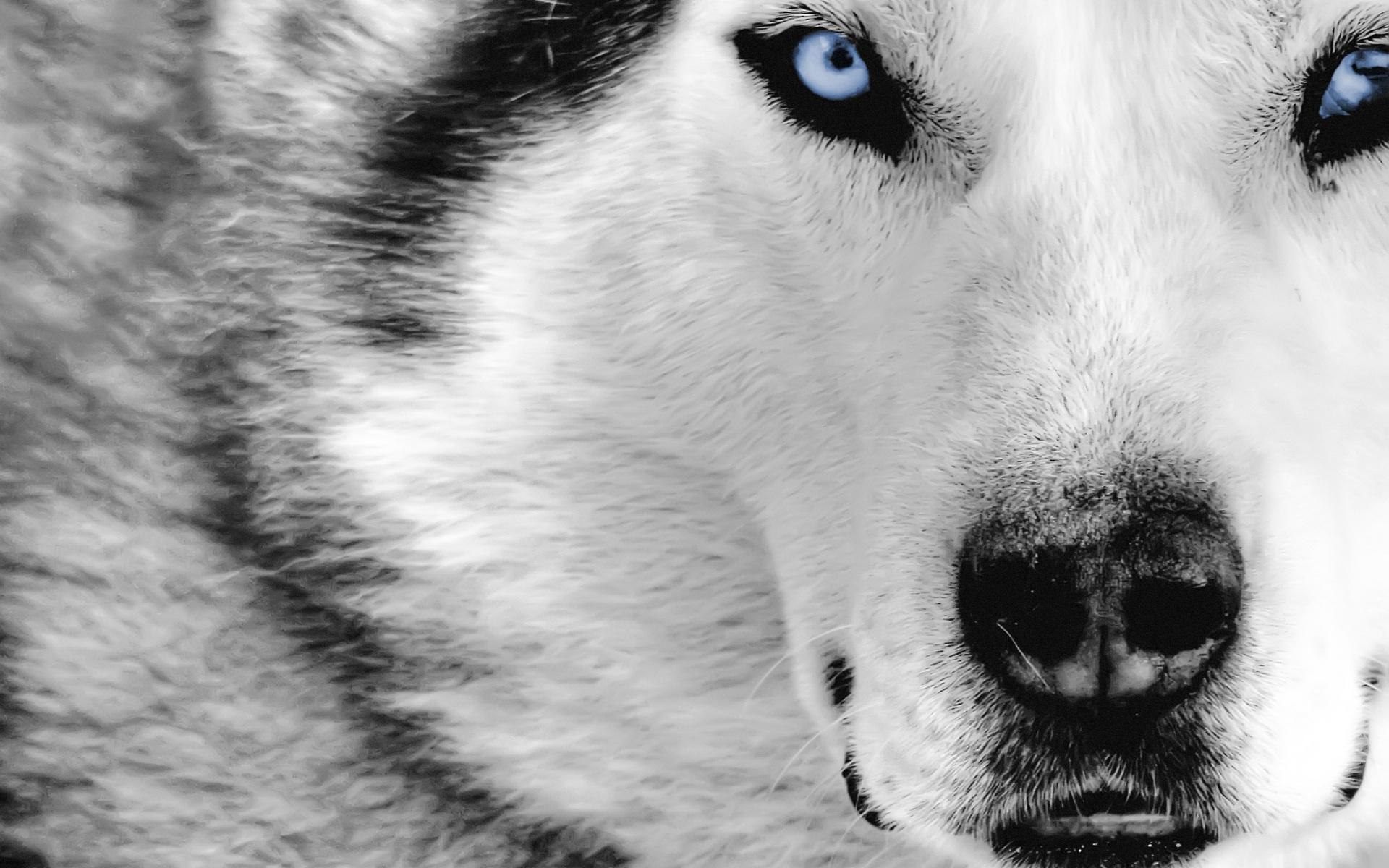Волк, фото, обои на рабочий стол