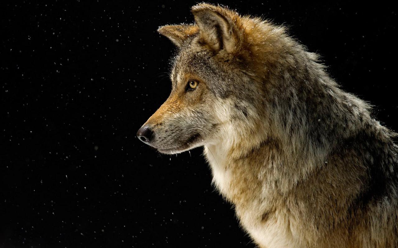 серый волк, фото, красивая фотография, обои для рабочего стола, фолки, wolf