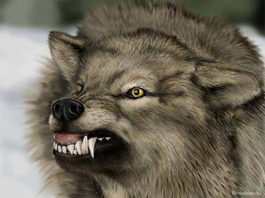 Волк, оскал, серый волки, фото волков, обои для рабочего стола