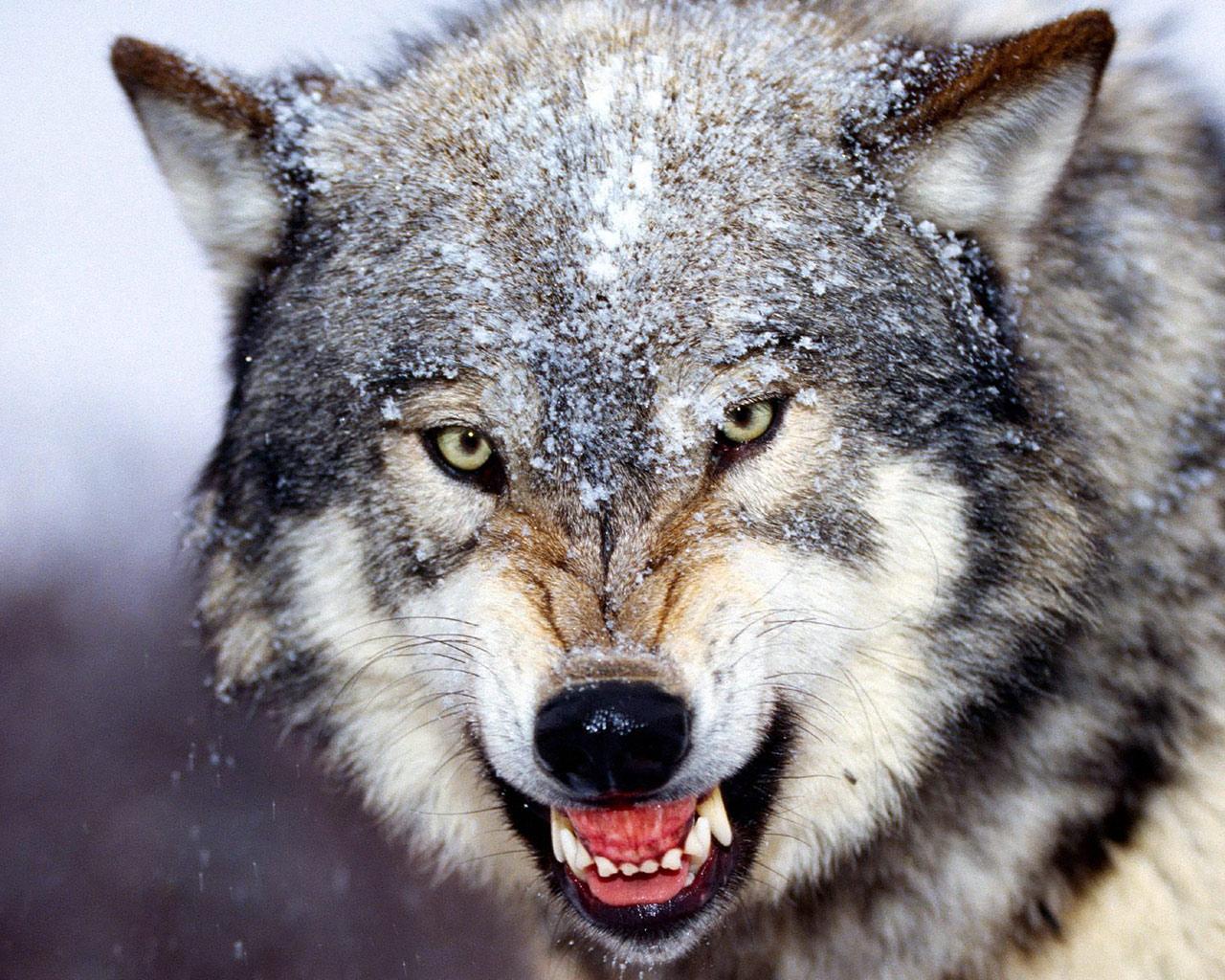 grey wolf, wallpaper, фото, обои для рабочего стола, волки