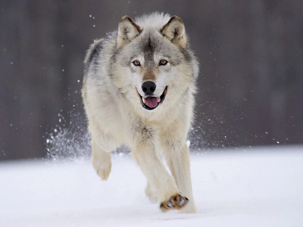 Белый волк, снег, фото волков, обои
