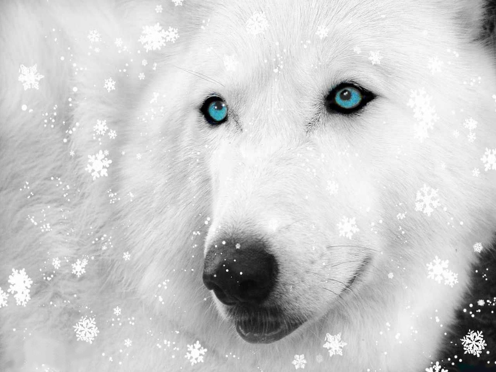 Белый волк и снег, фото, обои для рабочего стола, wolf, white snow
