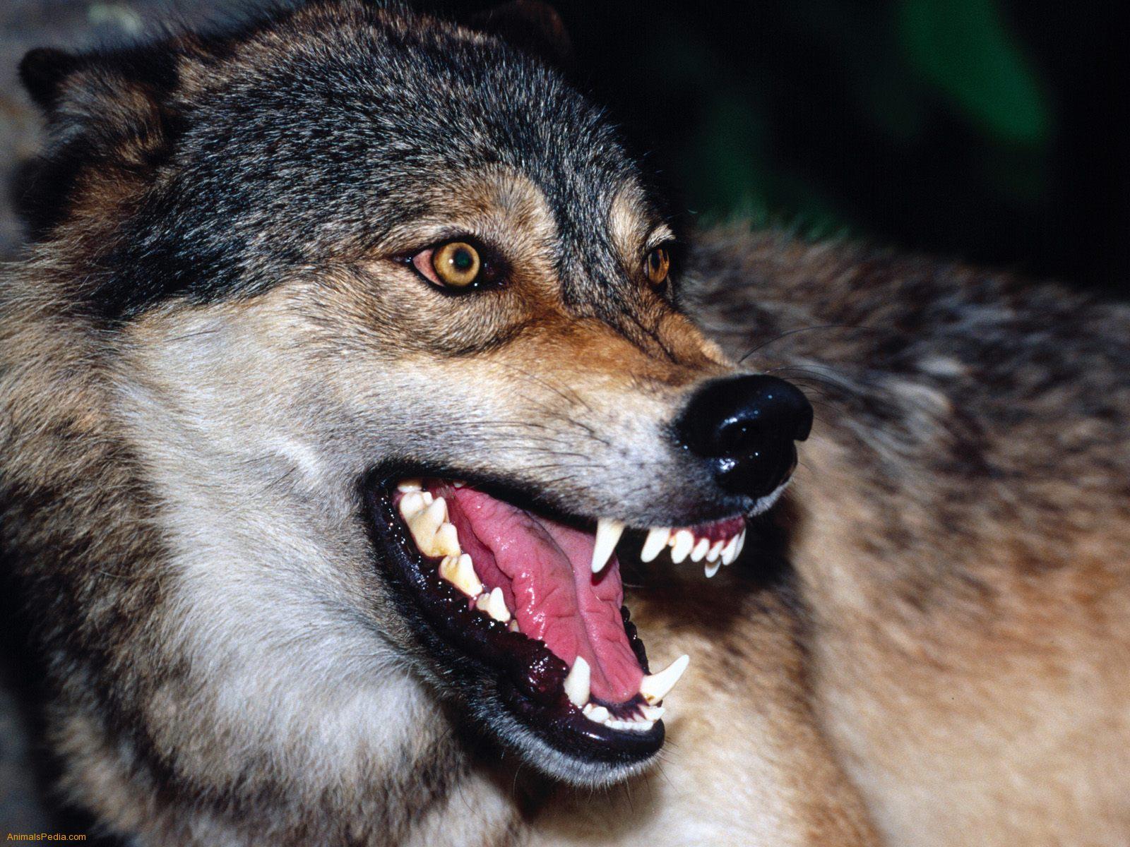 Волк огрызается, фото волка, оскал, хищный, хищник