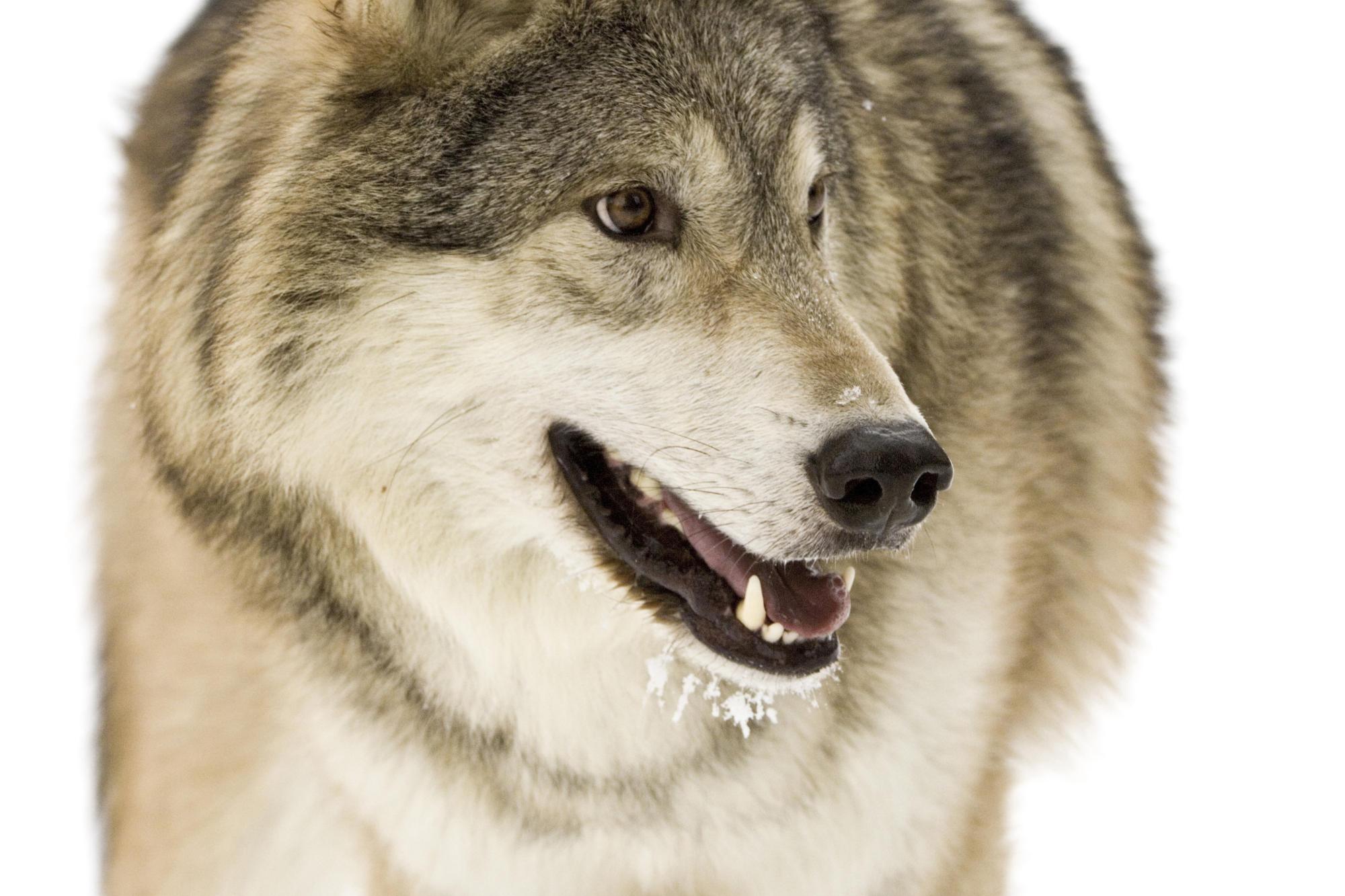 Волк, фото, обои для рабочего стола, wolf, скачать фото