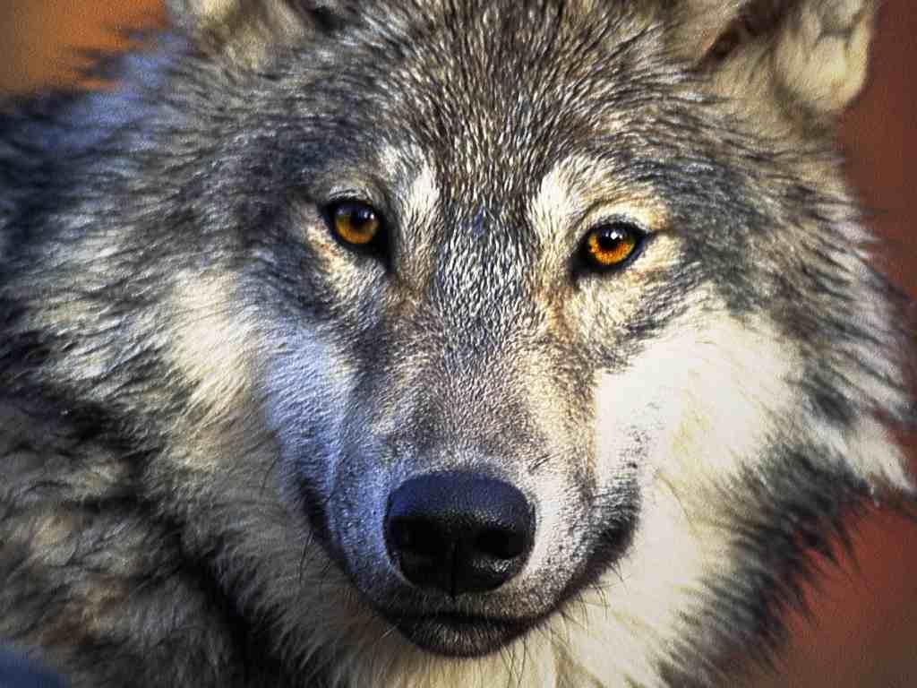 wolf, wallpaper, фото, обои на рабочий стол, скачать