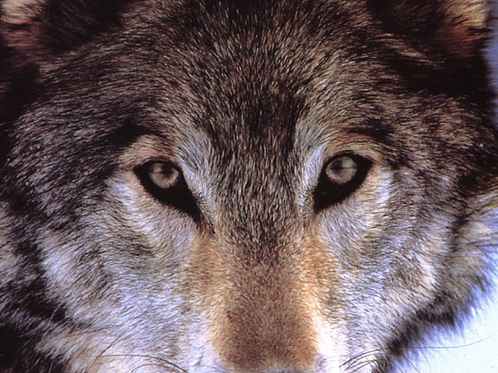 wolf, скачать фото, обои, волк