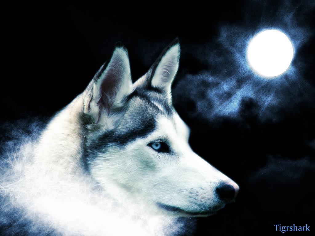 волк и луна, скачать фото, wolf, wallpaper