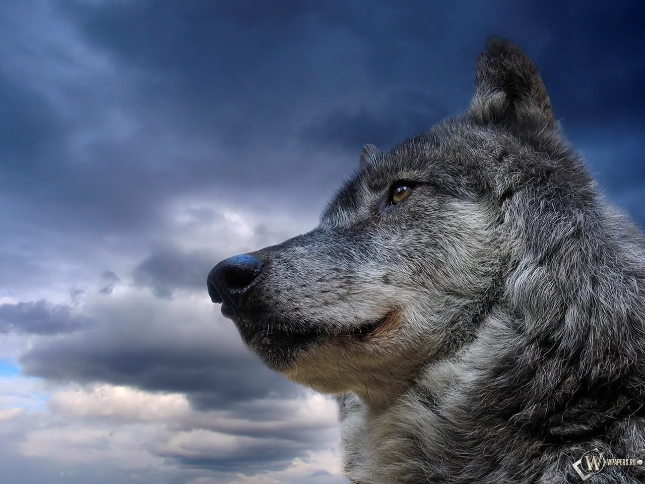 Wolf, волк на фоне неба, фото, обои для рабочего стола, фото волков