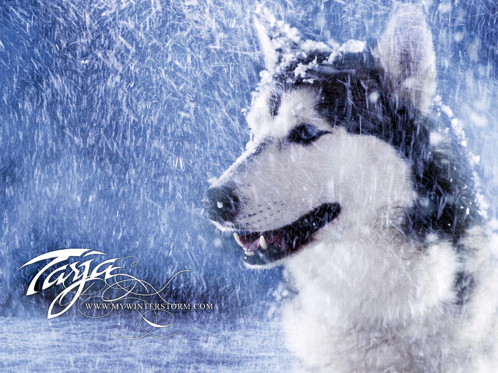 волк, снег, фото, зима, скачать обои для рабочего стола