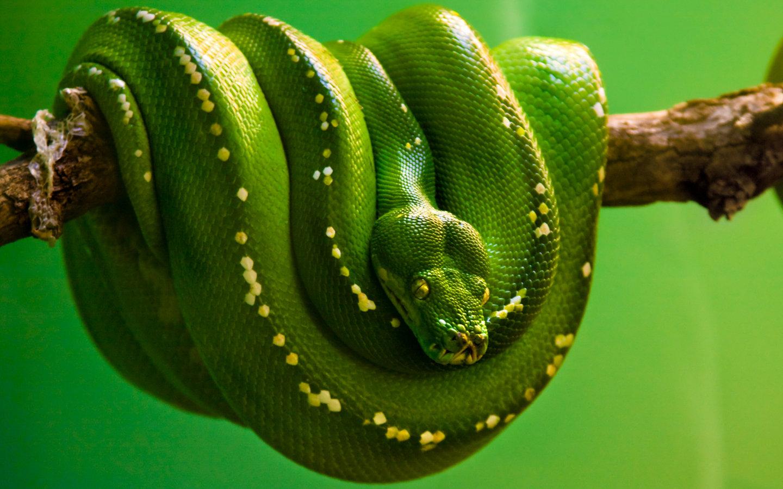 Зеленая змея на дереве, фото, скачать