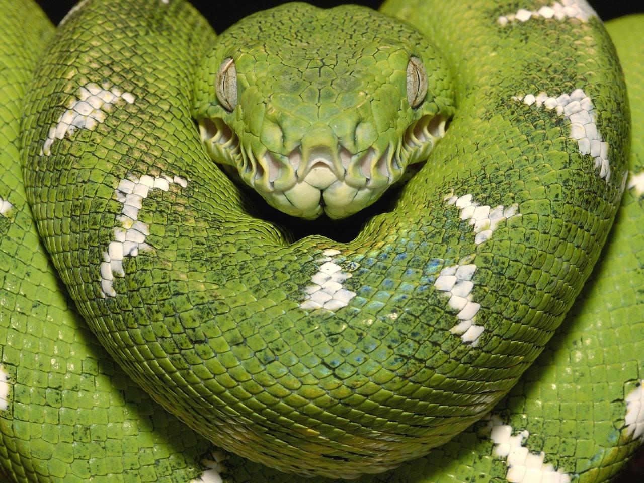 Зеленый удав, змея, полосатый змей, обои для рабочего стола