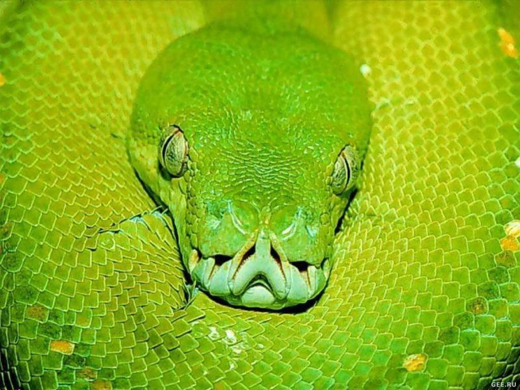 удав, зеленая змея, фото, скачать обои для рабочего стола