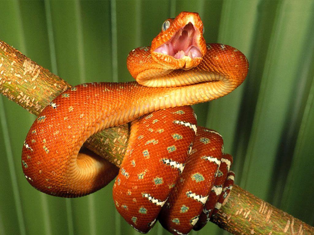 оранжевая змея, змей, фото, обои