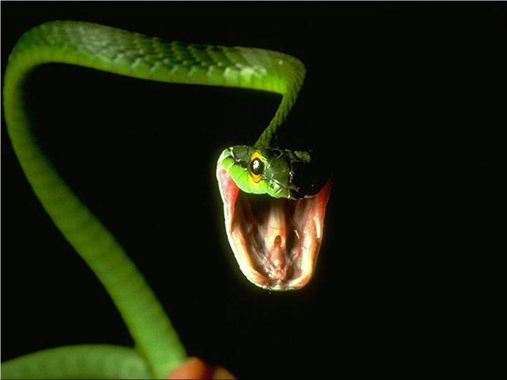 Змея, пасть, фото, обои для рабочего стола