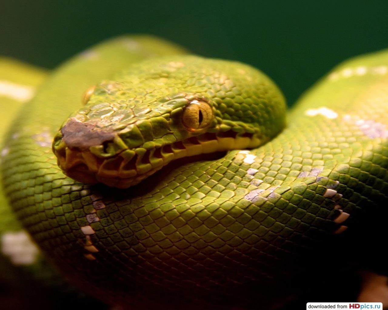 Зеленый удав, змея, фото, обои для рабочего стола, скачать