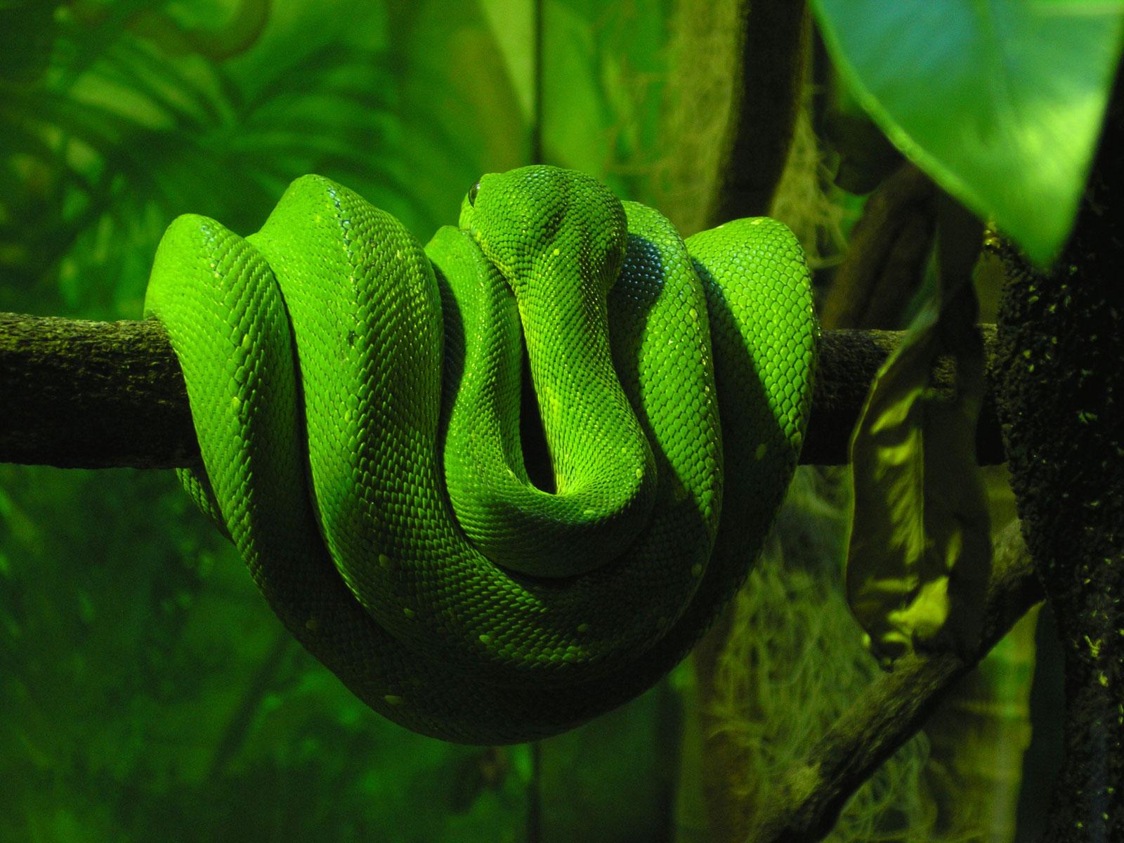 snake, wallpaper, обои на рабочий стол, скачать бесплатно