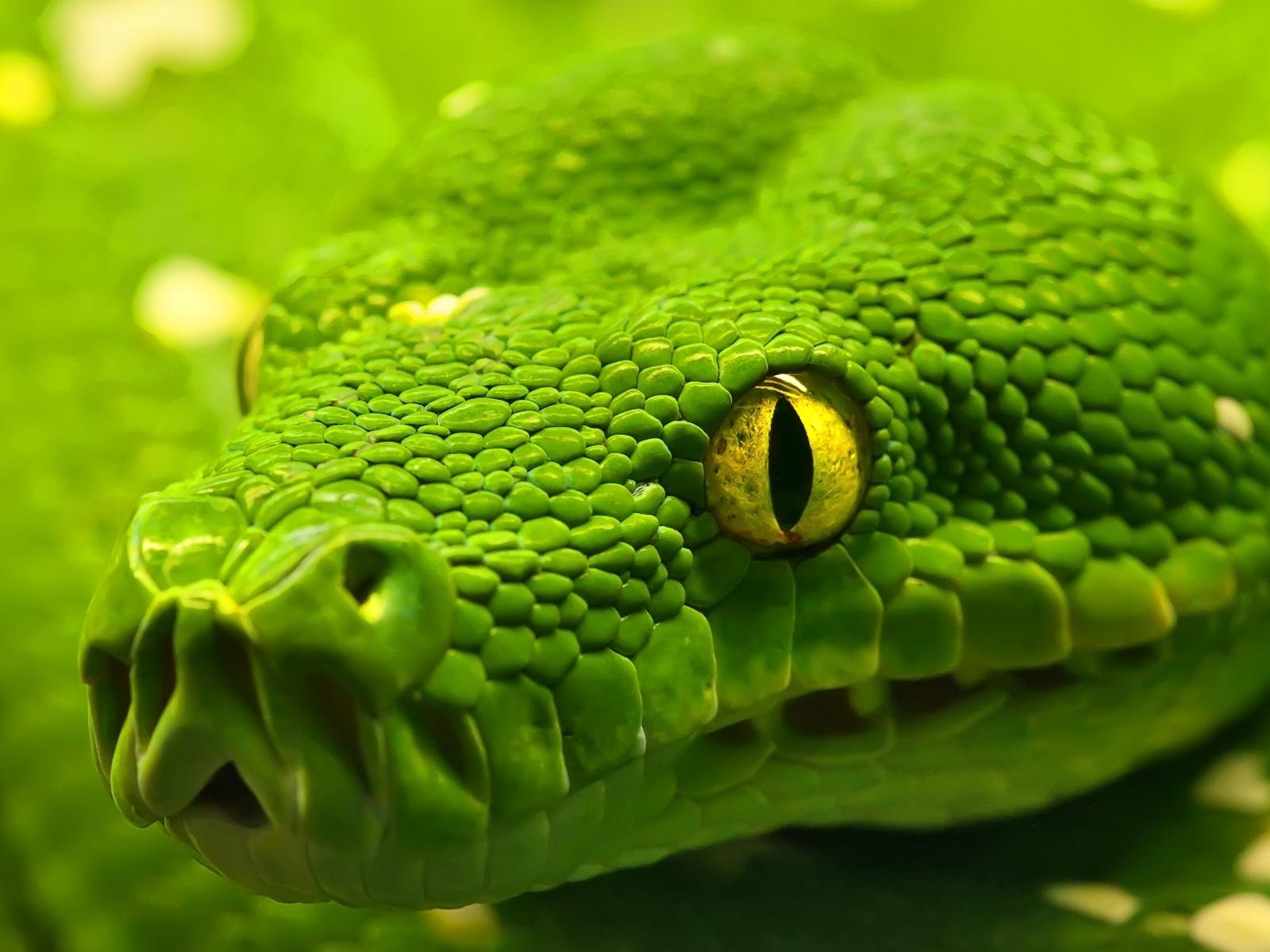 Зеленая змея, фото, обои для рабочего стола, змеи