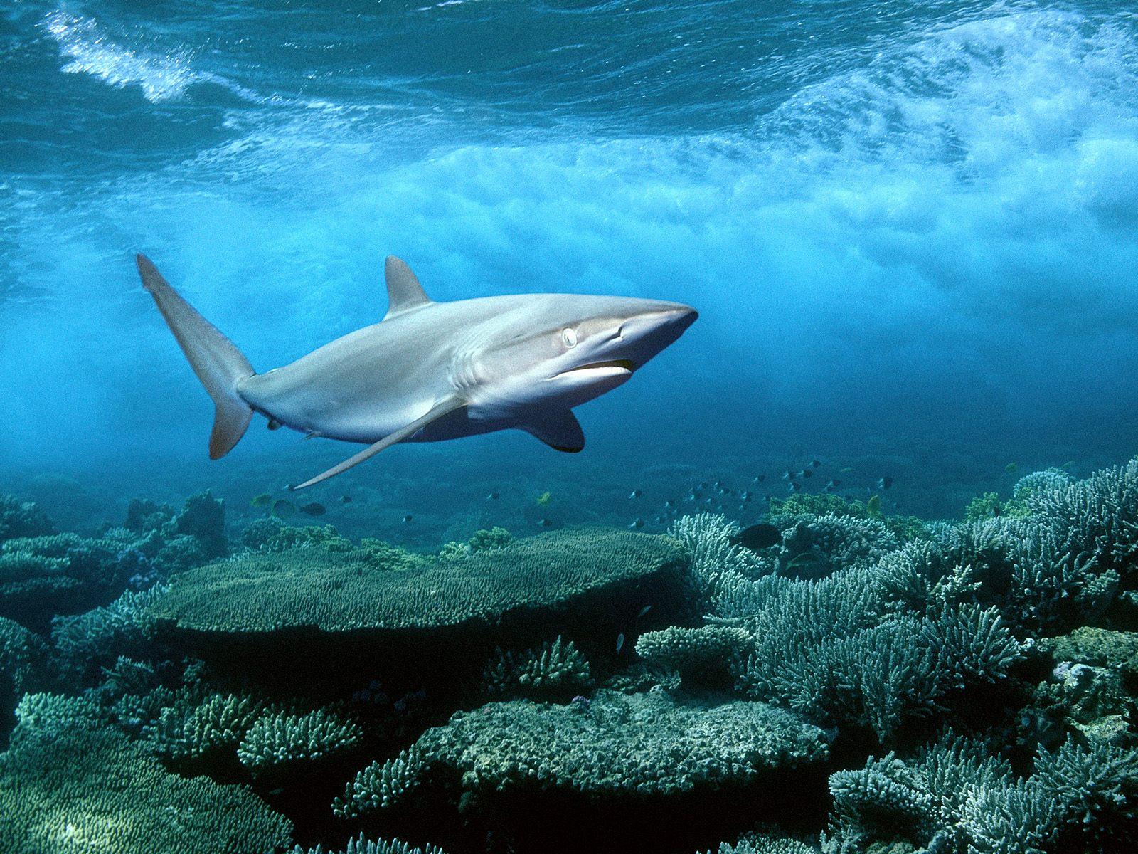акула, море, дно, фото, скачать