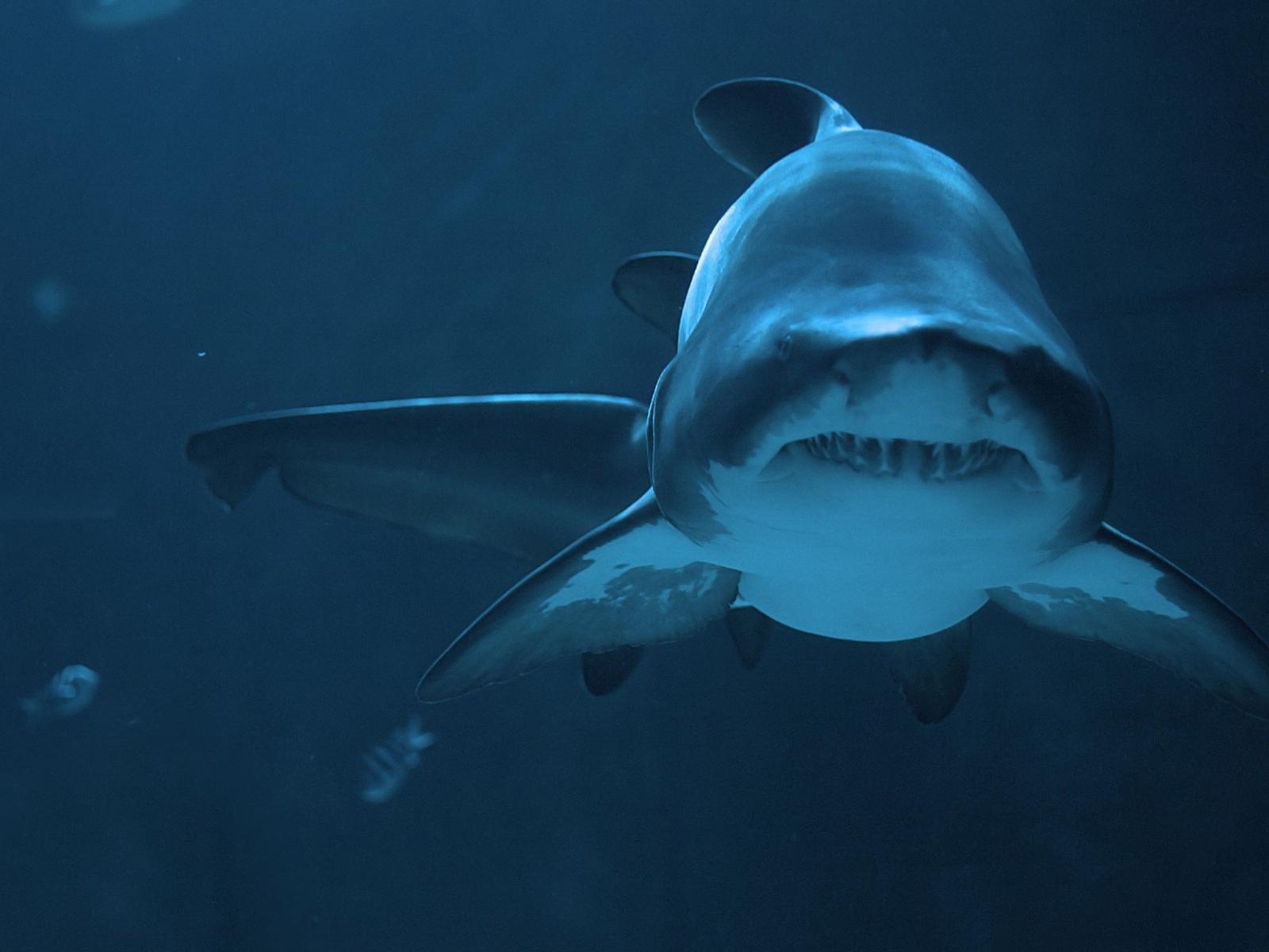 акула, фото, море, фото