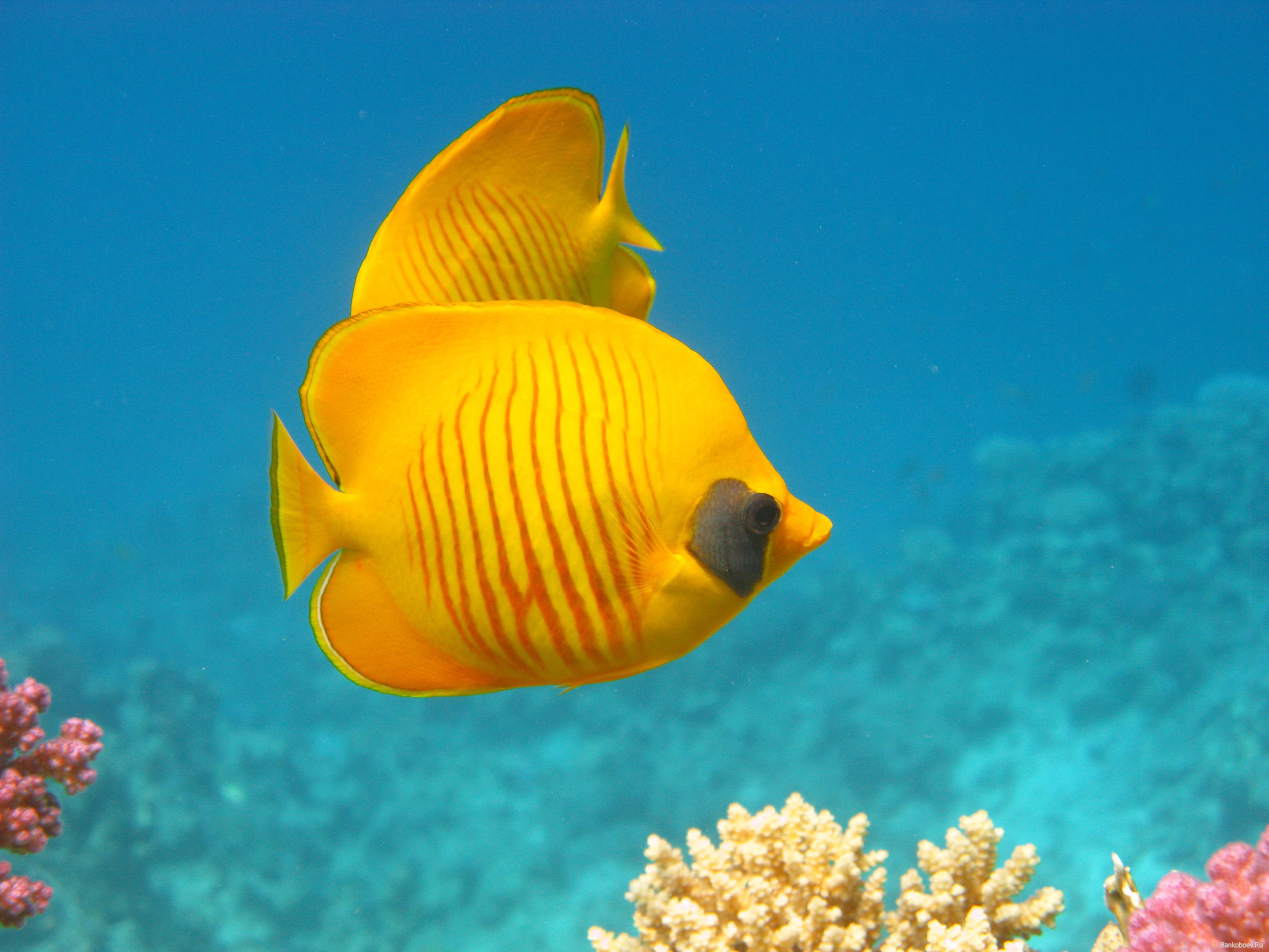 коралловый рыбки, фото, скачать