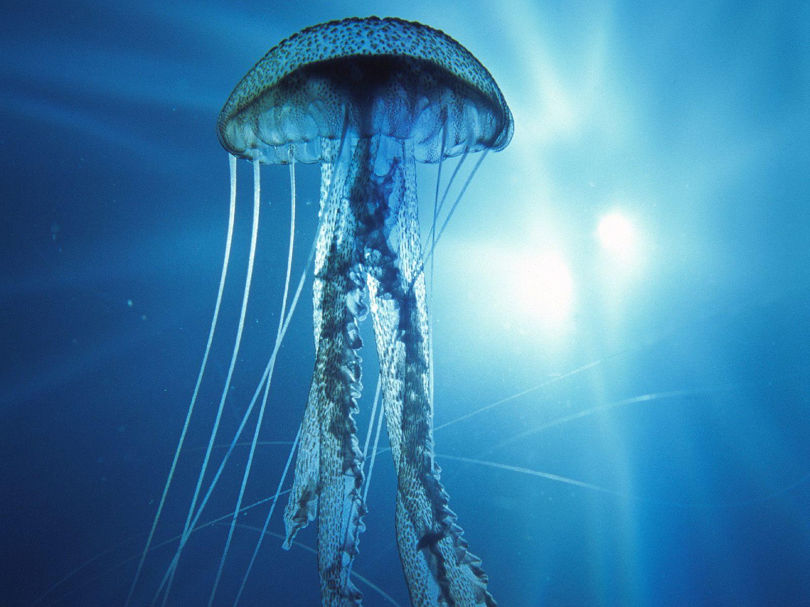 морская медуза, фото, обои на рабочий стол, скачать