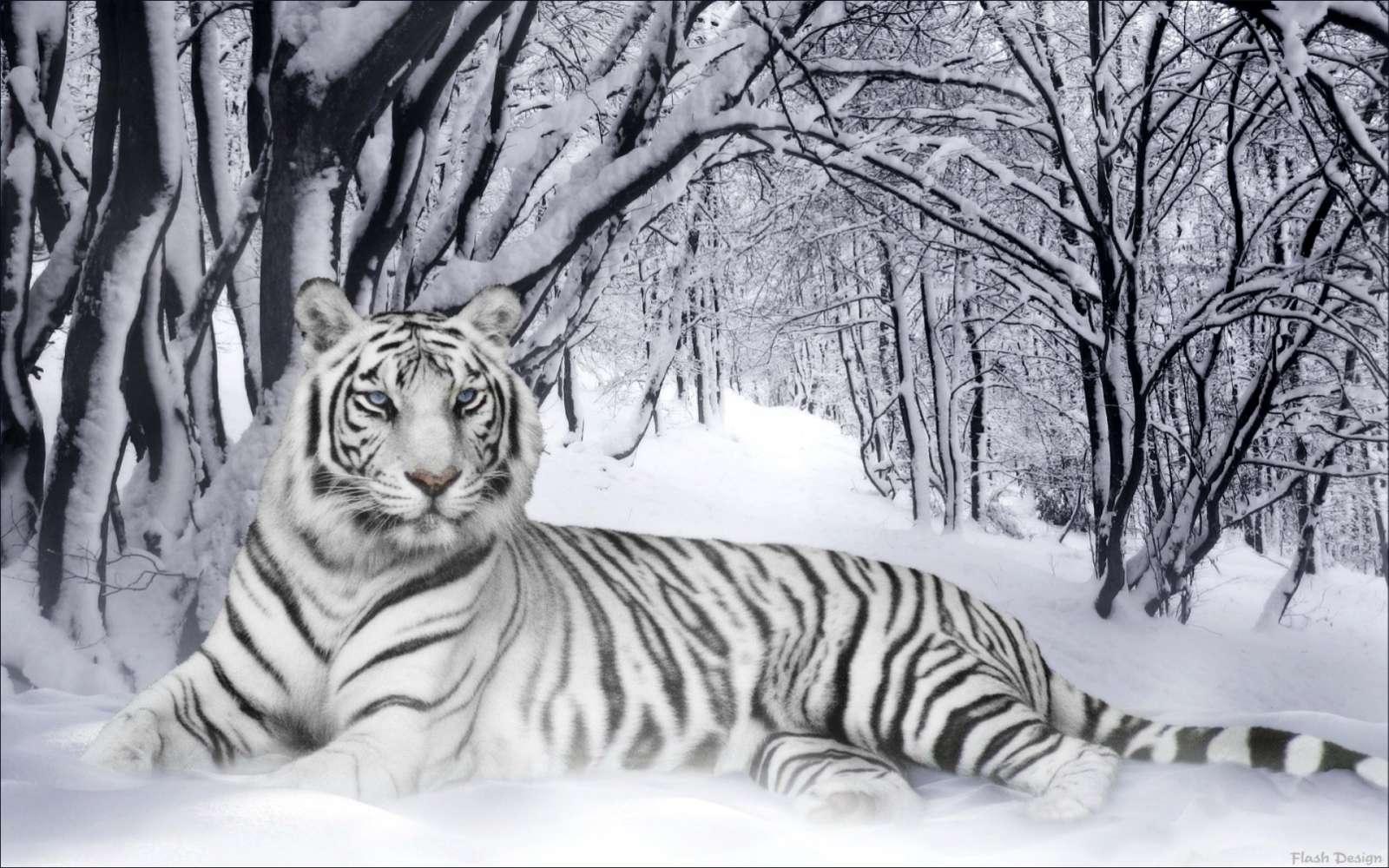 Белый тигр на снегу, фото, обои для рабочего стола