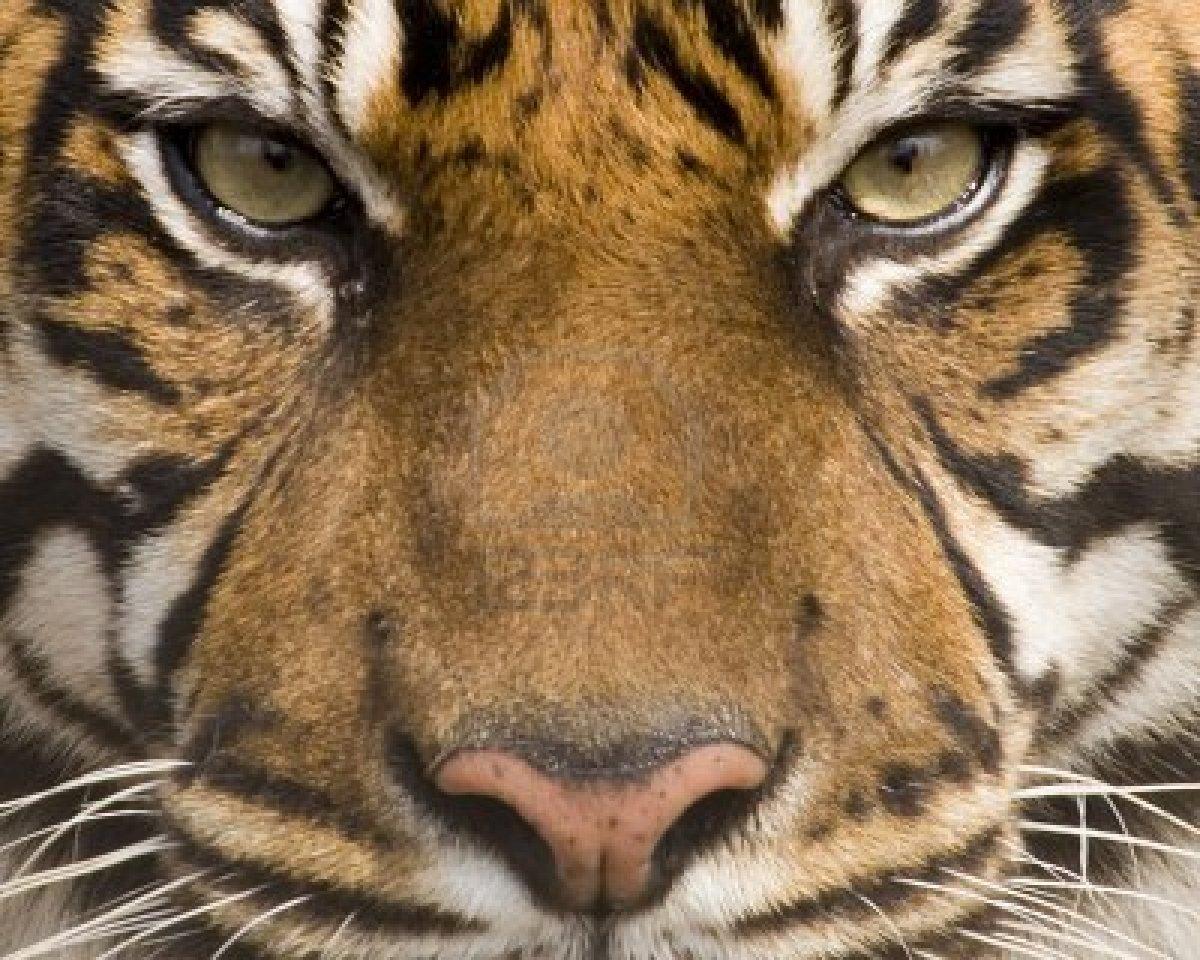 тигр, морда, скачать фото, обои для рабочего стола