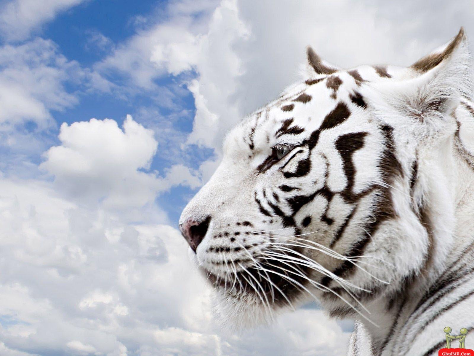 белый тигр, скачать фото, обои для рабочего стола