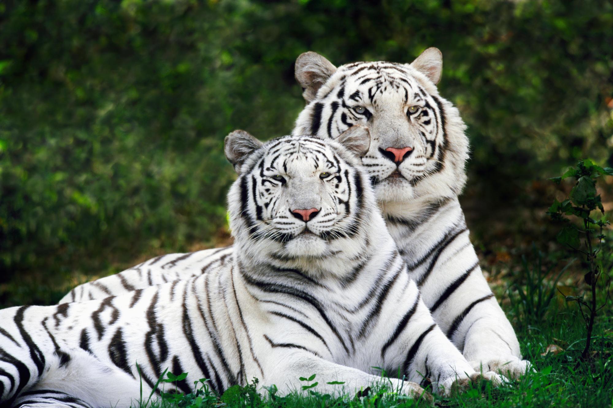 пара белых тигров, белый тигр, white tiger, скачать обои для рабочего стола