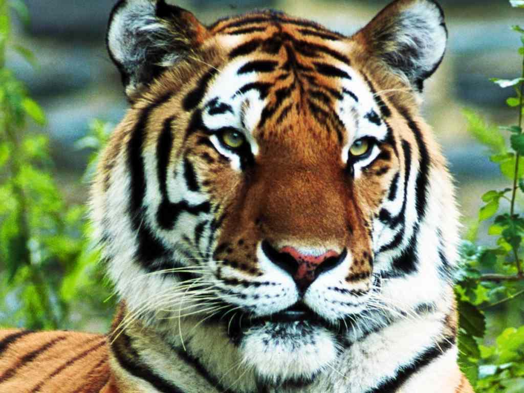 красивое фото, скачать обои, тигр