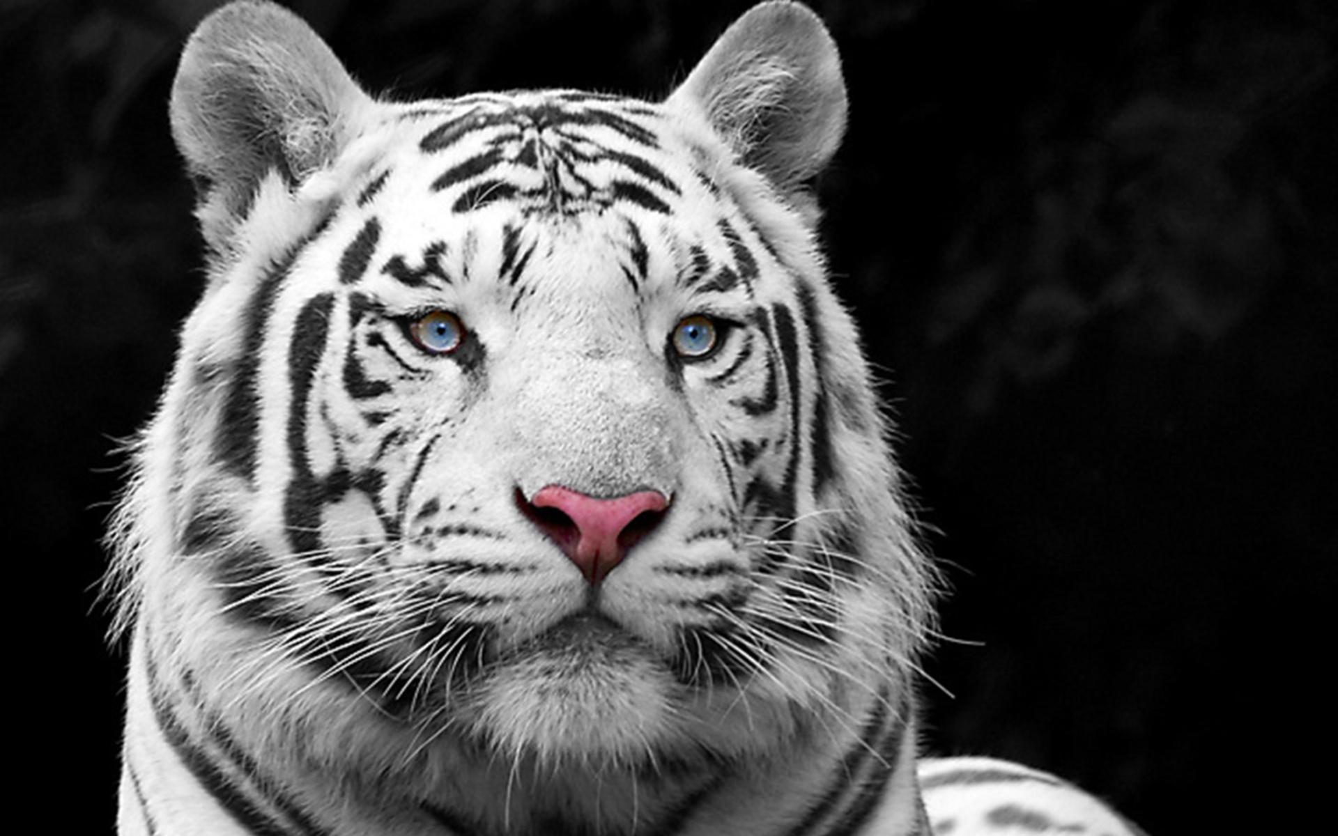 белый красивый тигр, скачать фото, обои для рабочего стола