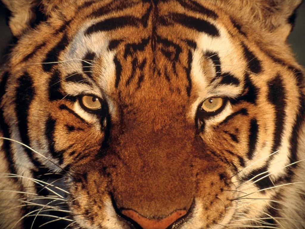 голова тигра, фото, обои, тигр, скачать обои для рабочего стола