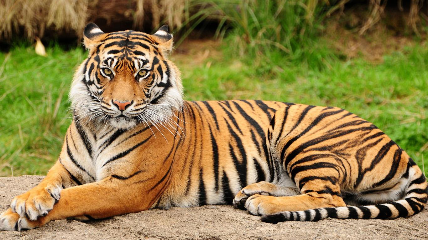 тигр на земле лежит, фото, скачать обои для рабочего стола