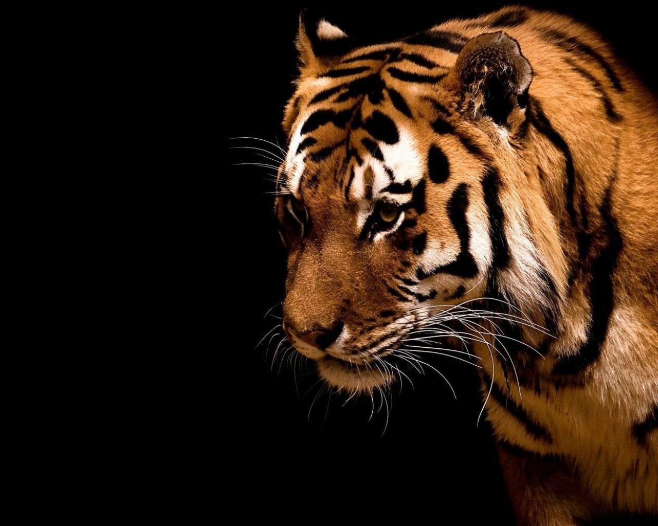 тигр, скачать фото бесплатно, обои на рабочий стол