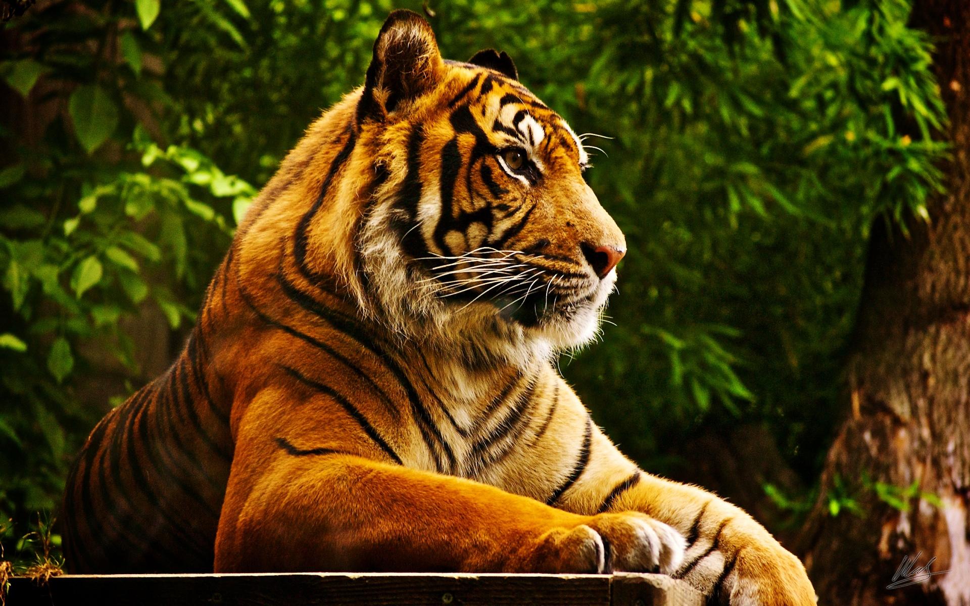 тигр лежит, фото красивое, скачать обои для рабочего стола