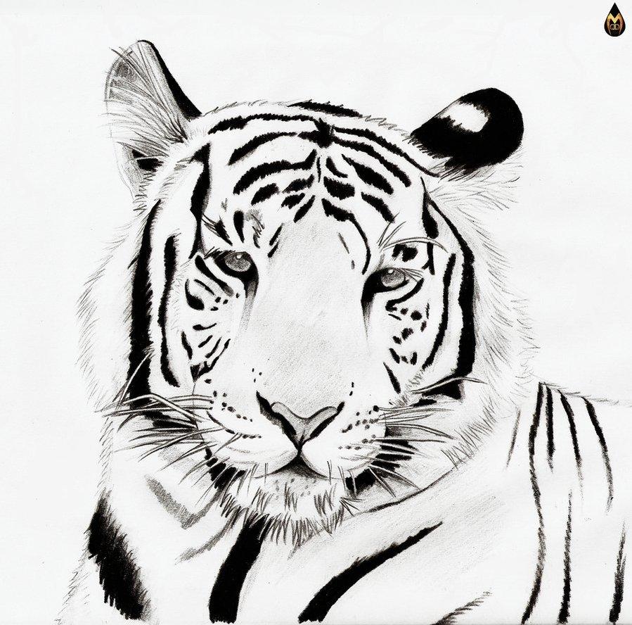 белый тигр, рисунок, фото, скачать