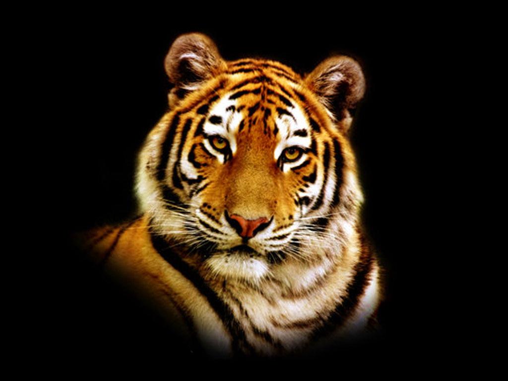 голова тигра, фото, скачать обои для рабочего стола