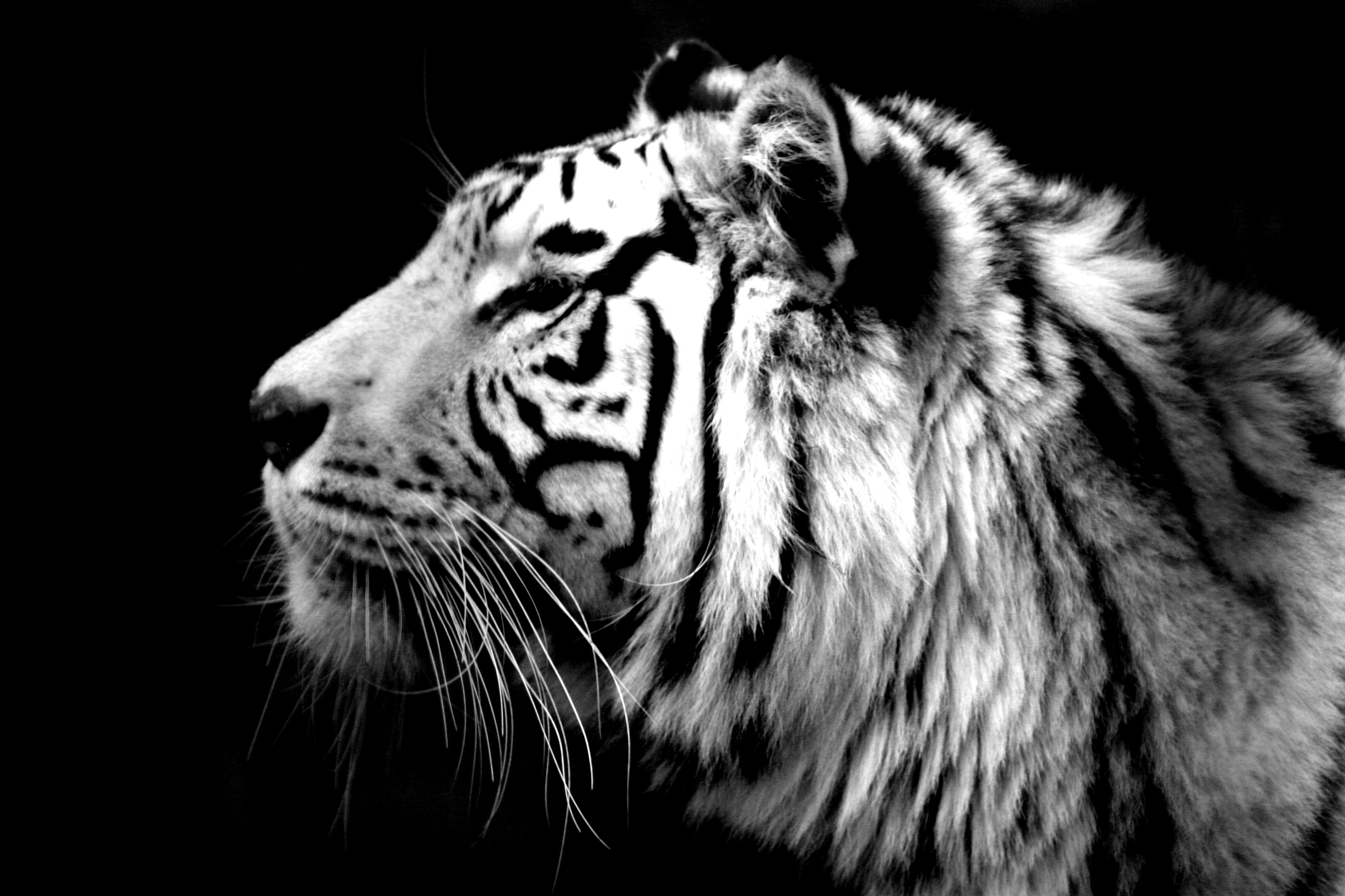 белый тигр, фото, скачать