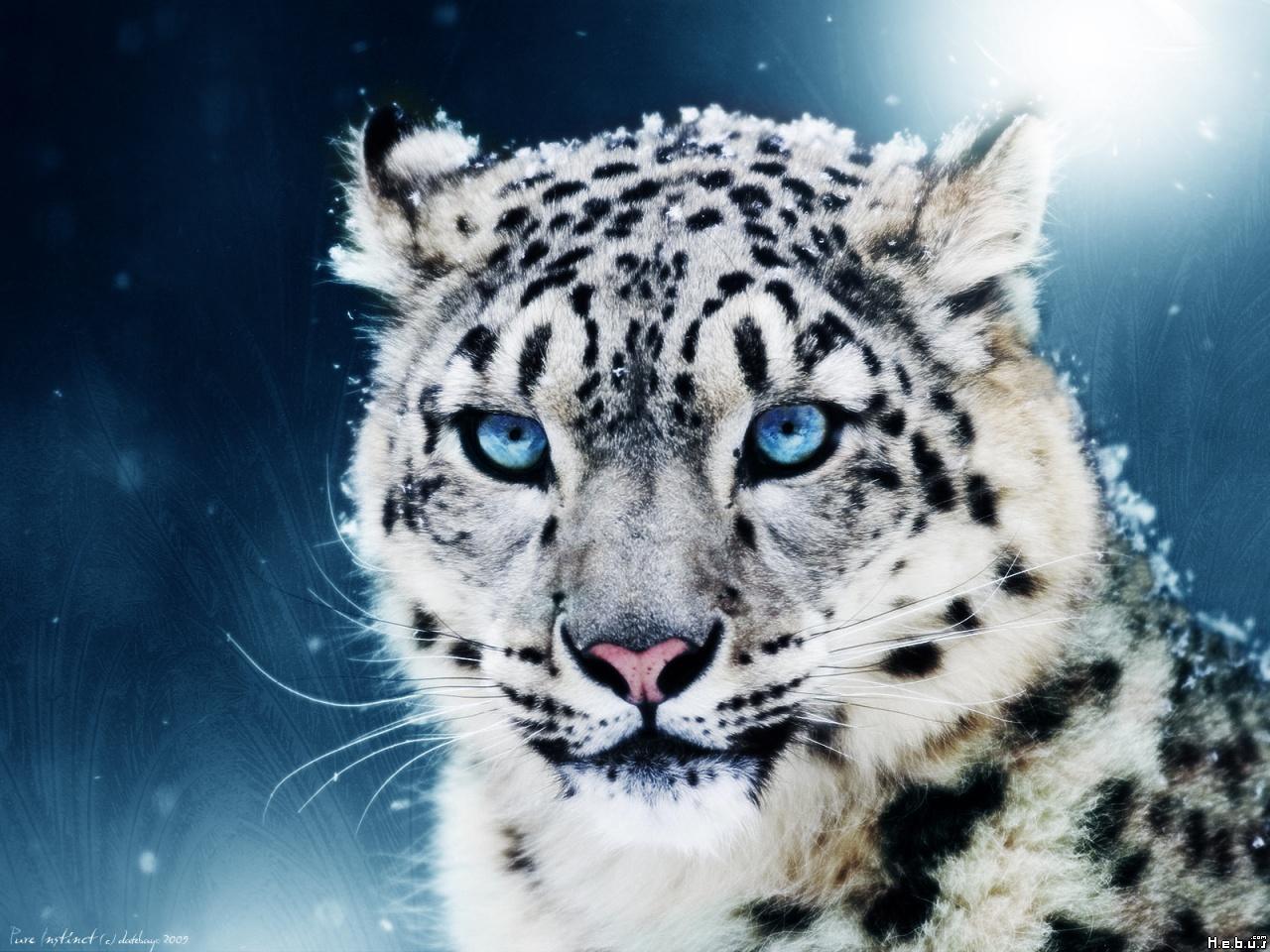 белый тигренок с голубыми глазами, фото, обои, скачать, снежный барс