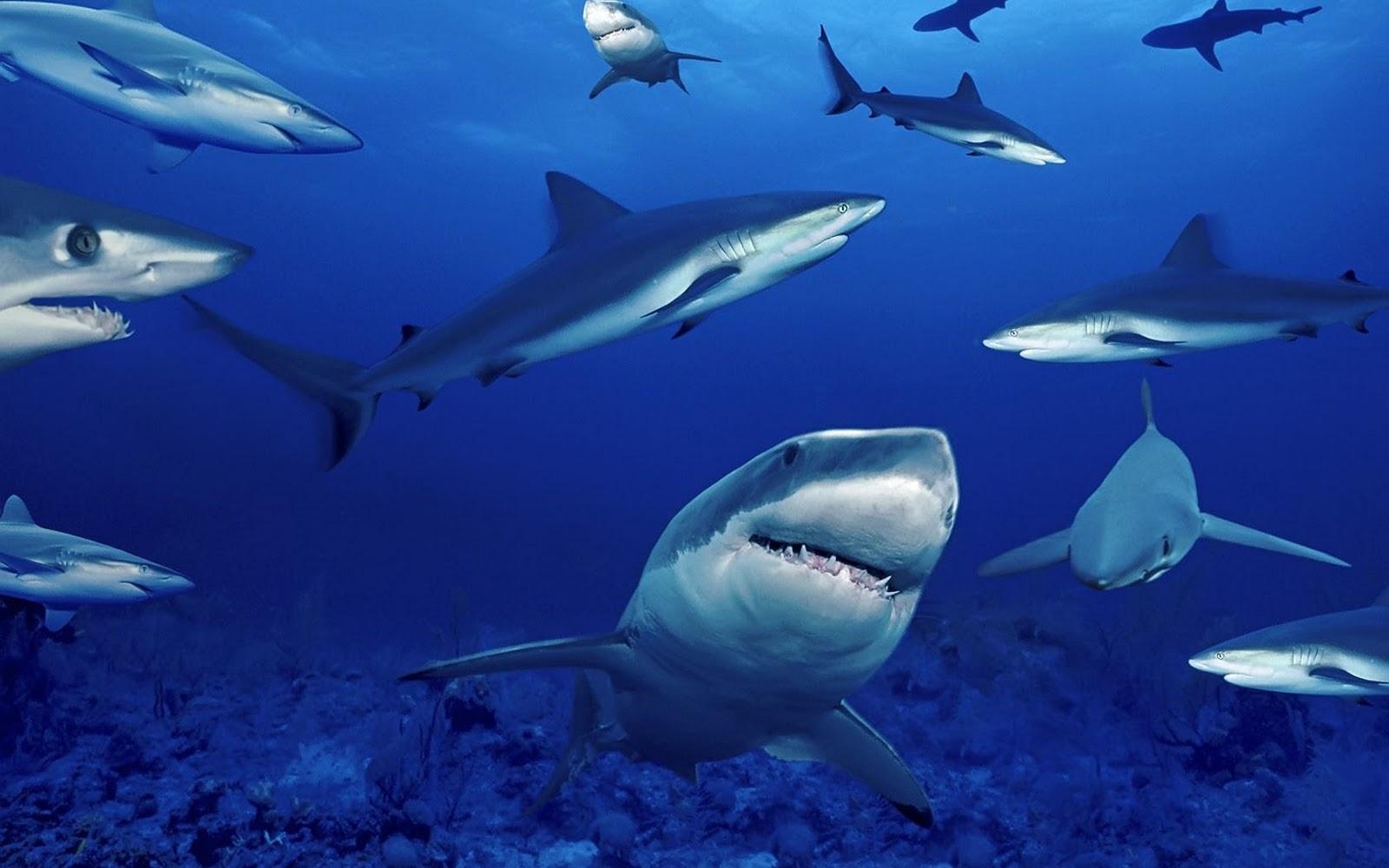стая акул, фото, обои для рабочего стола