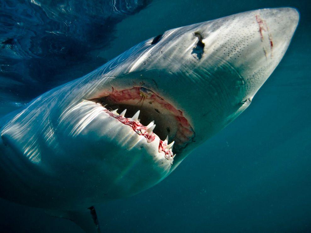 фото, челюсть акулы, зубы, скачать фото, обои на рабочий стол