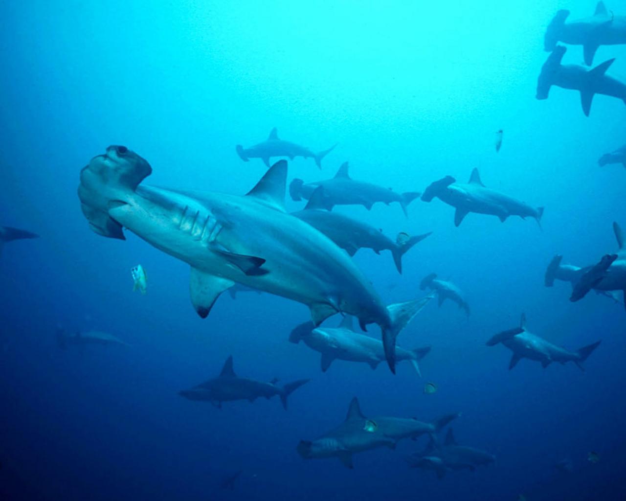 акула-молот, фото, обои на рабочий стол