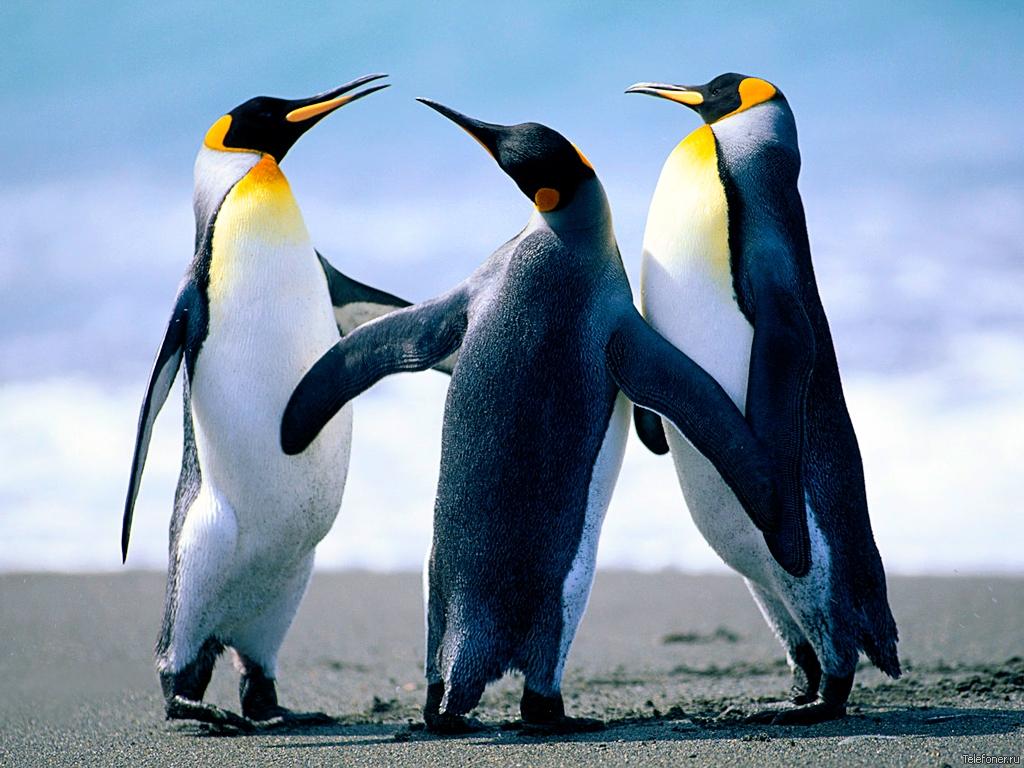 императорские пингвины, фото, обои скачать для рабочего стола