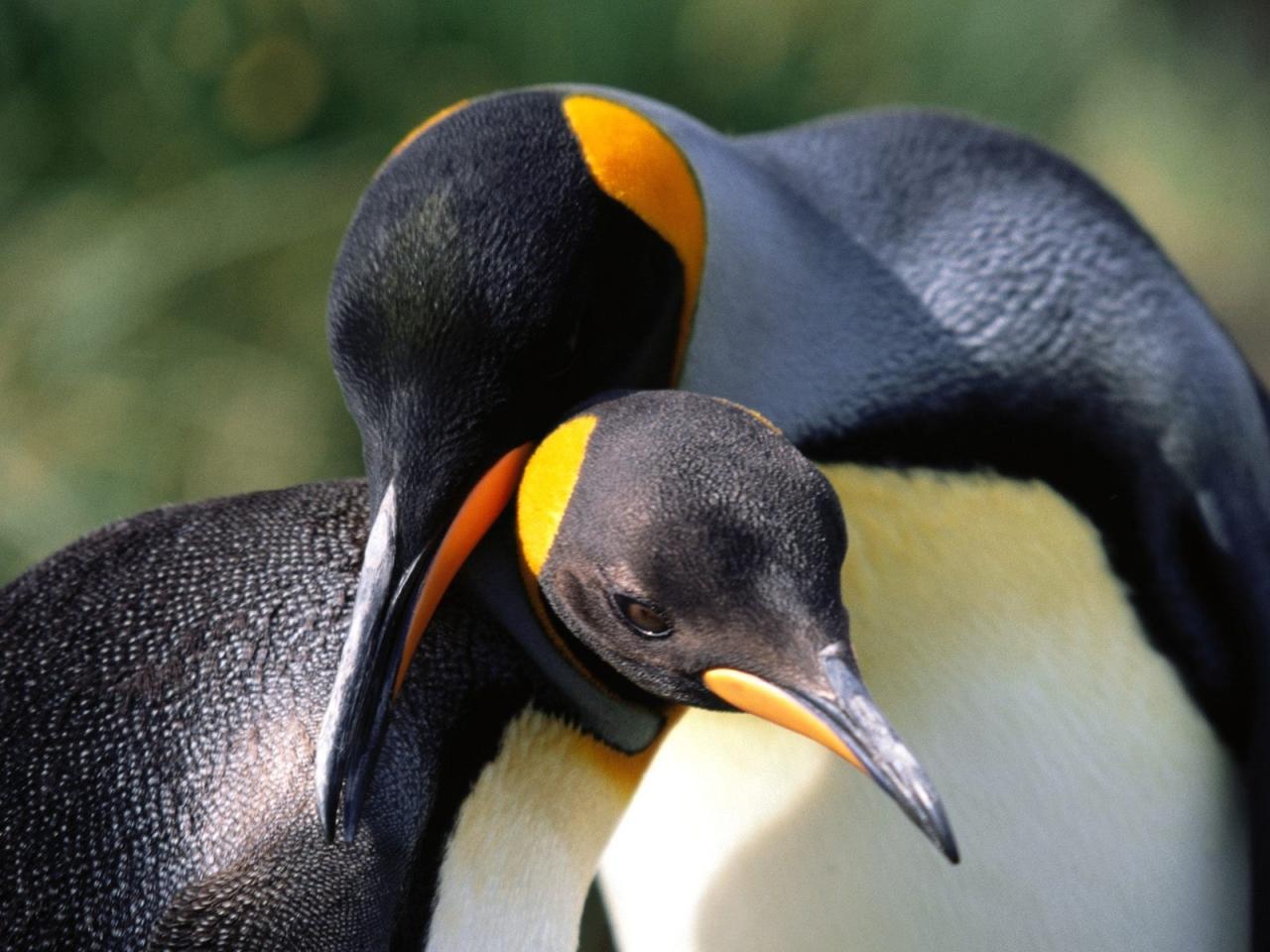 пара императорских пингвинов, скачать фото, обои для рабочего стола