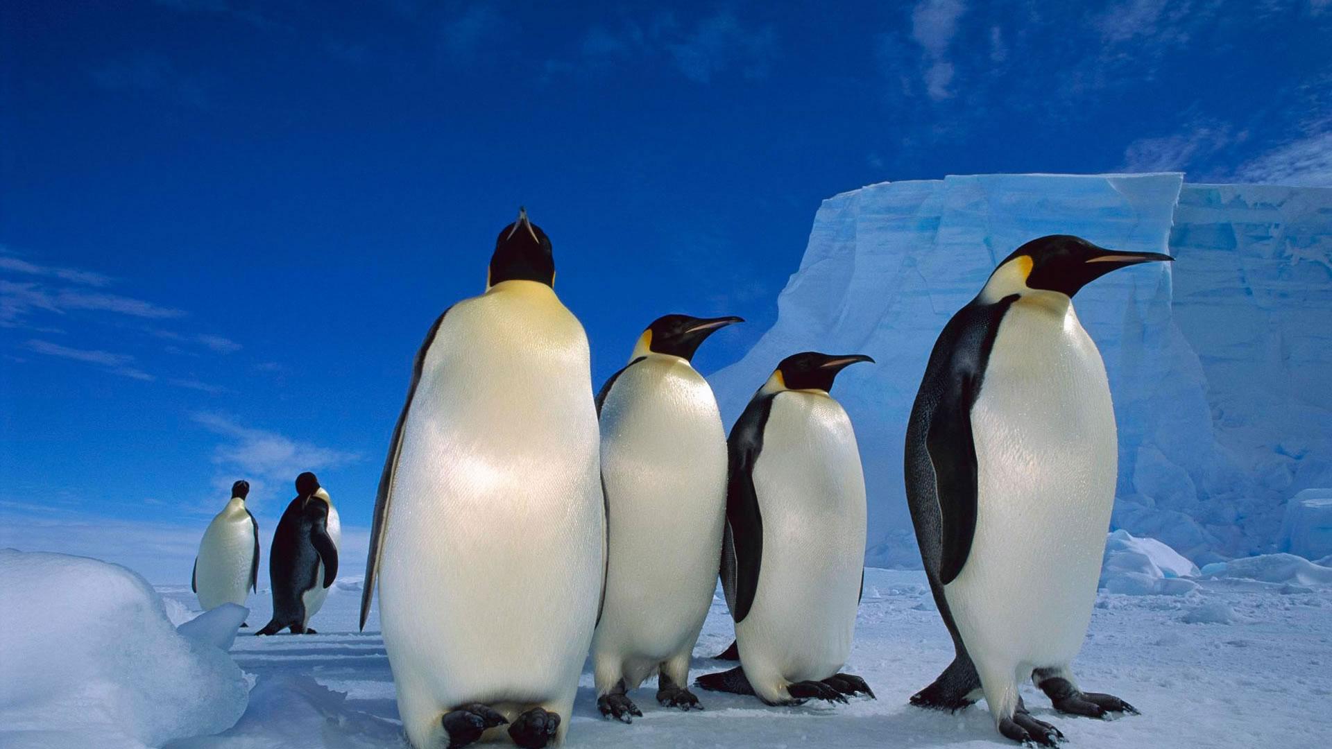 императорские пингвины, скачать фото, обои для рабочего стола