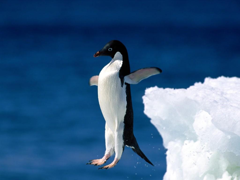 пингвин прыгает, фото, скачать, обои для рабочего стола