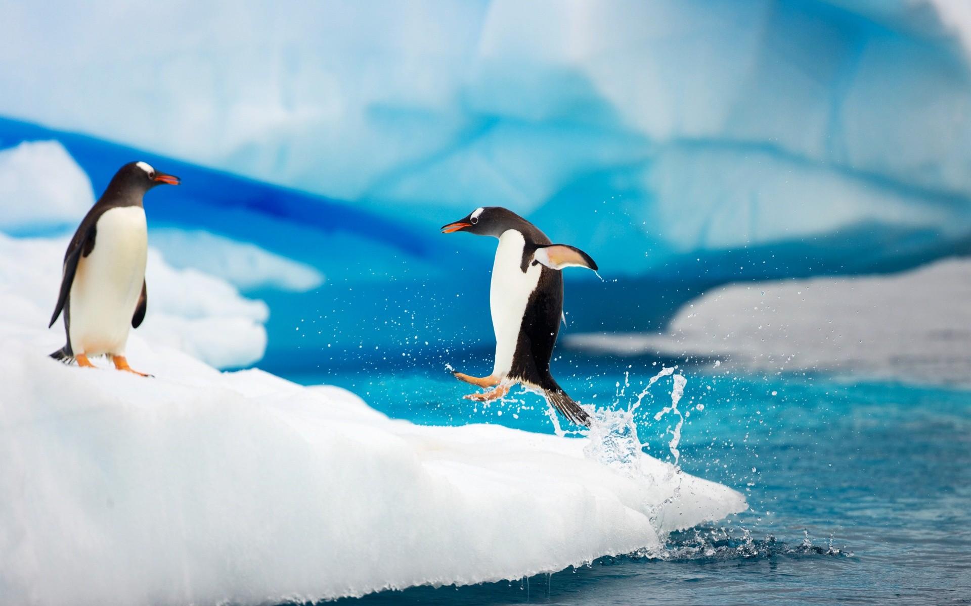 пингвины, фото, скачать фото, обои для рабочего стола