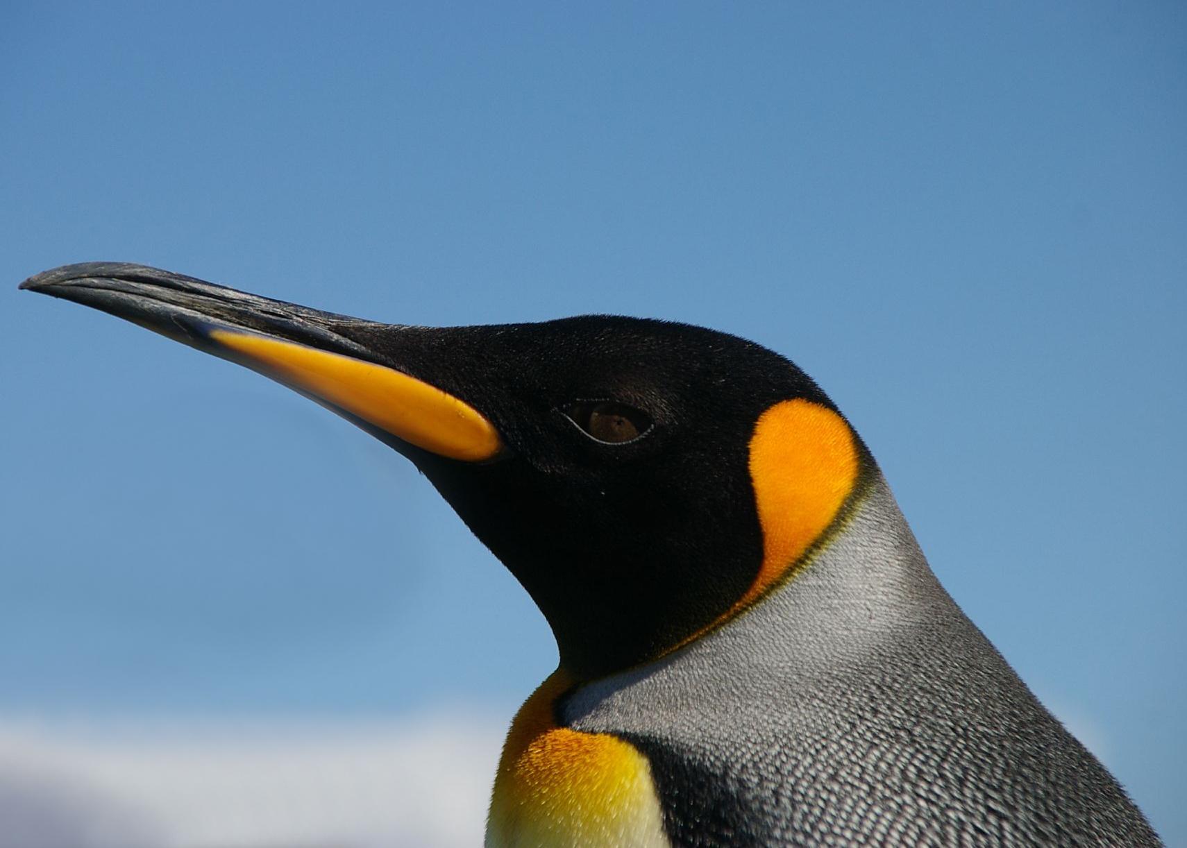 Императорский пингвин, скачать фото, обои для рабочего стола, фото