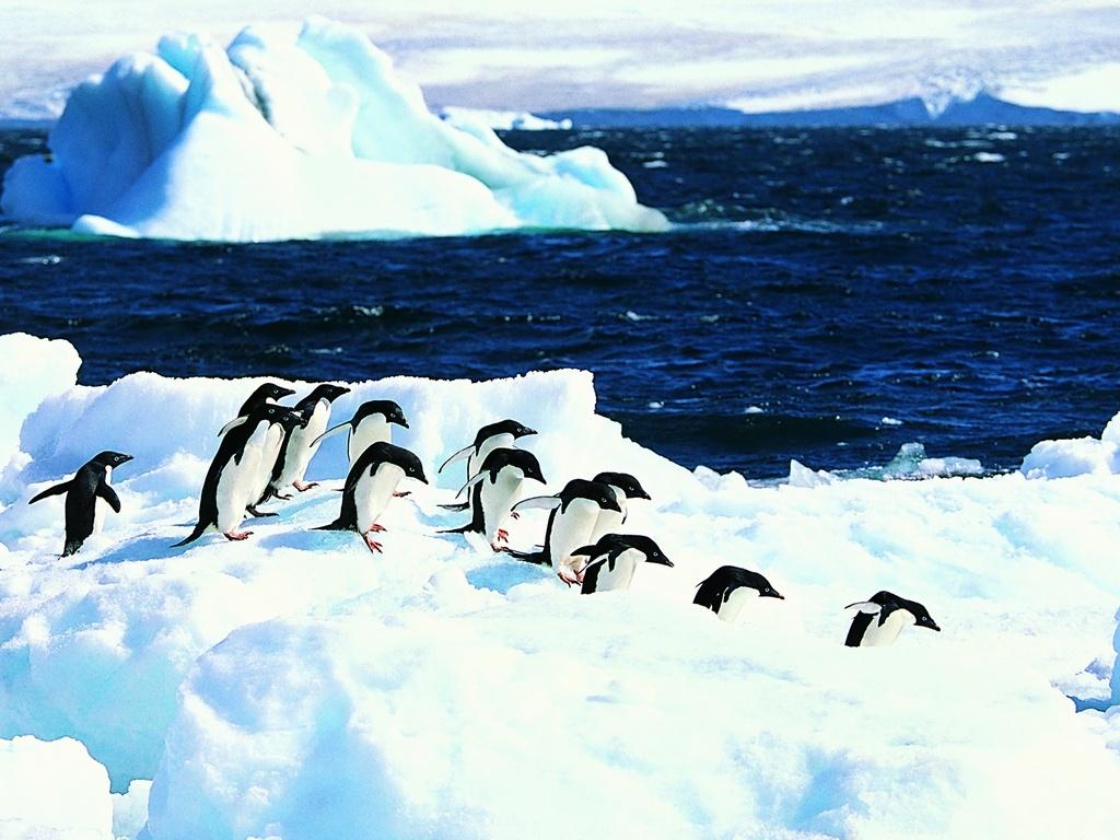группа пингвинов, фото, скачать, обои для рабочего стола