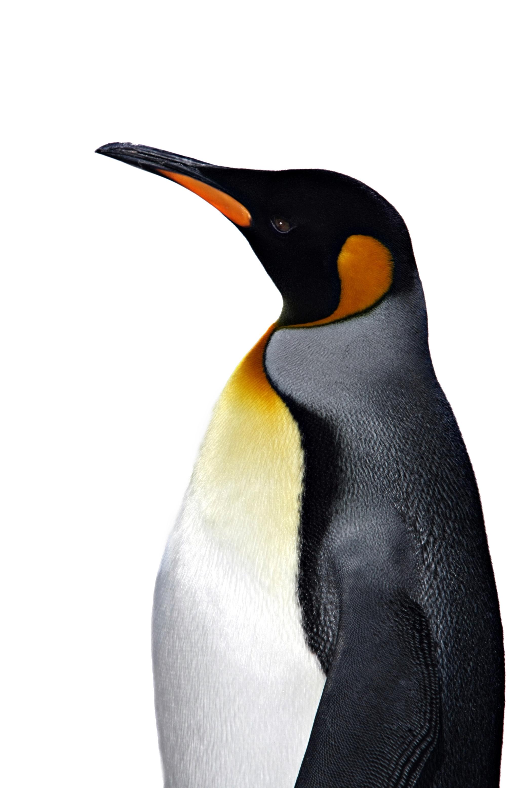 Королевсикй императорский пингвин, фото, обои для рабочего стола